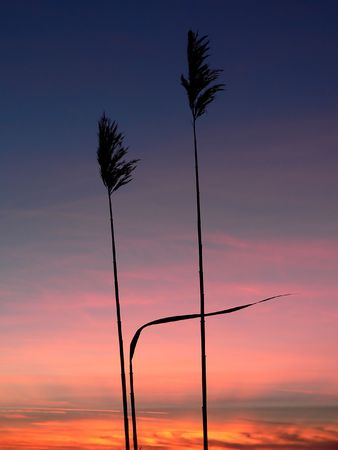 cane creek: reed (phragmites australis) silhouettes with beautiful sunrise