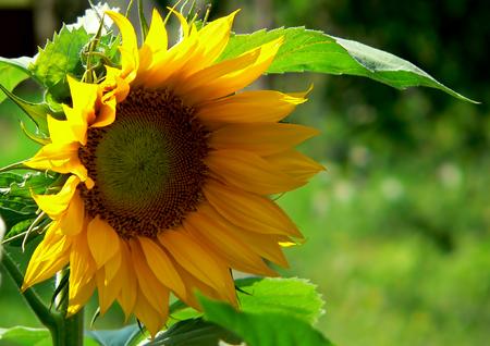 helianthus: sunflower (helianthus annuus)