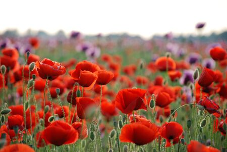 depth of field: red poppy field with shallow dof (papaver rhoeas) Stock Photo