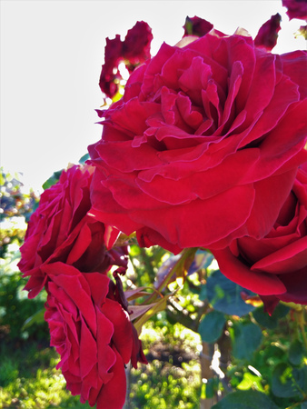 Gorgeous bush of red roses closeup