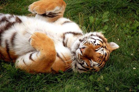 Playful tiger Stock Photo
