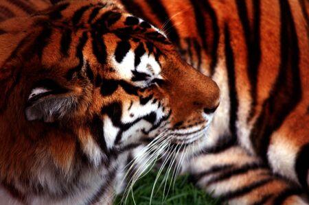 Tiger art Stock Photo