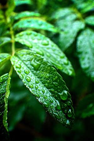 regendruppels op bladeren