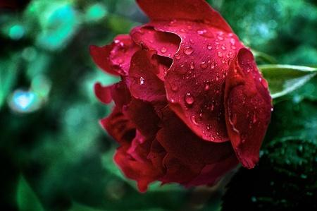 regendruppels op bloem Stockfoto