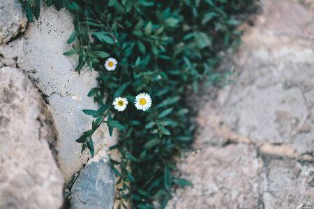 little white flowers in full bloom in the garden , winter flower