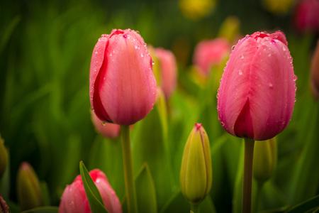Tulipani rosa con rugiada mattutina Archivio Fotografico