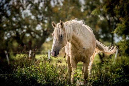 White Horse with Swishing Tail Stockfoto