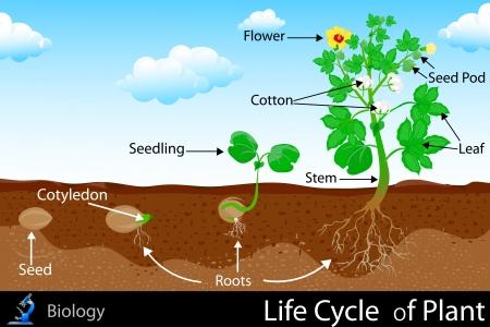 plants growing: Ciclo di vita di piante Vettoriali