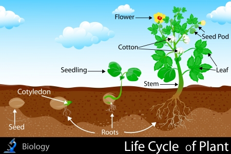 environmental science: Life Cycle of Plant Illustration