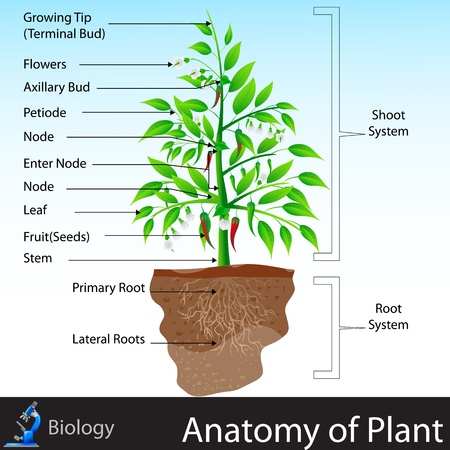 educazione ambientale: Anatomia delle piante Vettoriali