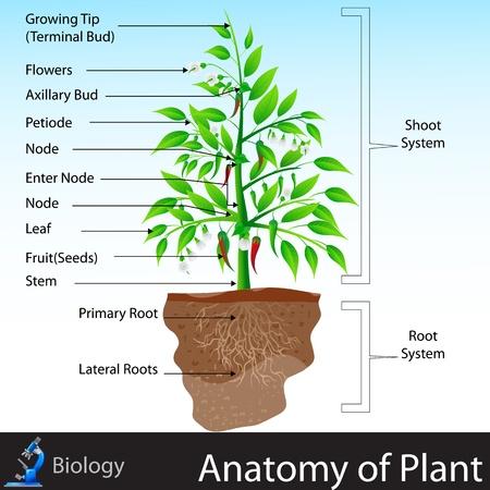 environmental science: Anatomy of Plant Illustration