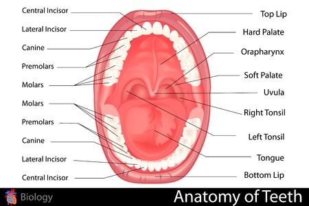 anatomia humana: Anatomía de la dentadura humana