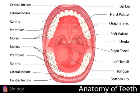 Anatomy of Human Denture Vector