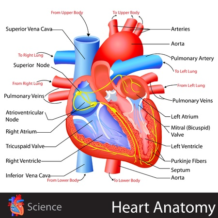 anatomia humana: Anatomía del corazón