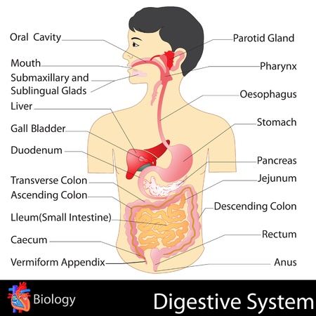 colon: Digestive System Illustration