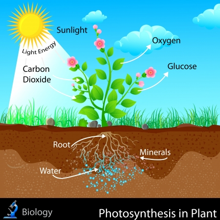 respiration: Photosynthesis in Plant Illustration