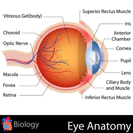 oeil dessin: Anatomie de l'oeil
