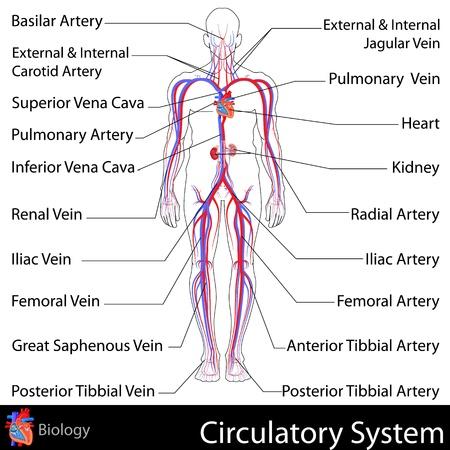 veine humaine: Syst�me circulatoire