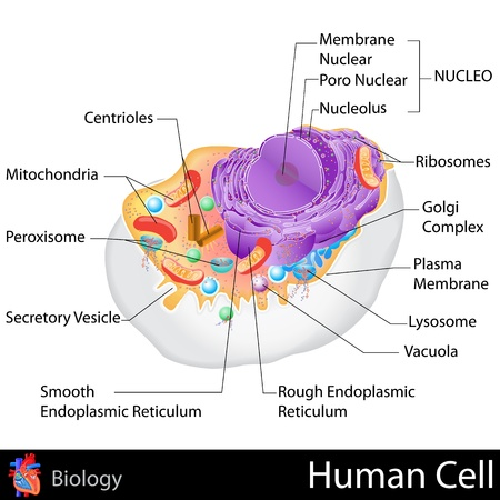 animal cell: Célula humana Vectores