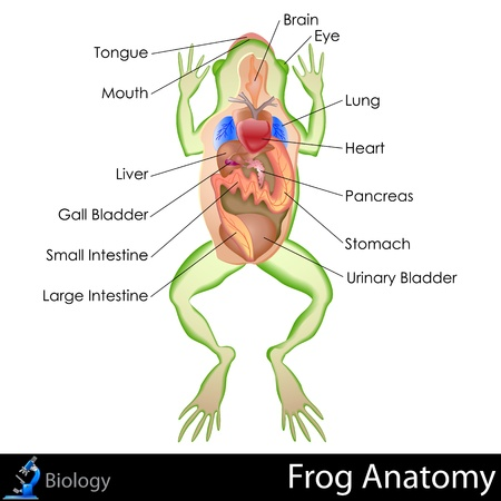Frog Anatomy Vector