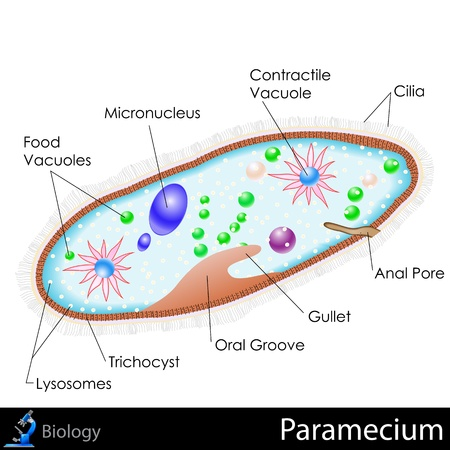 Paramecium Diagram Vector
