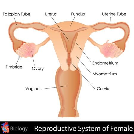 üreme: Kadın Üreme Sistemi Çizim