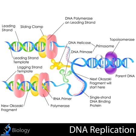 DNA 복제 일러스트