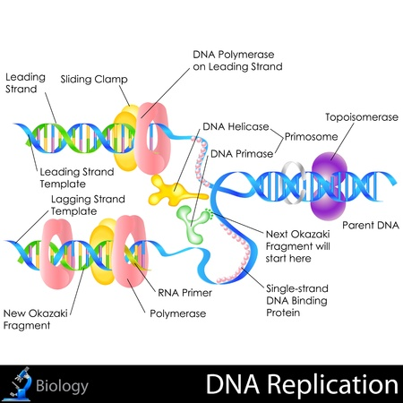 DNA Replication Иллюстрация