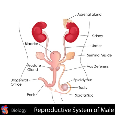 Male Reproductive System Stock Vector - 20842364