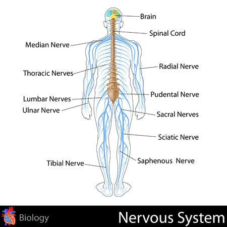 Nervous System Stock Vector - 20842368