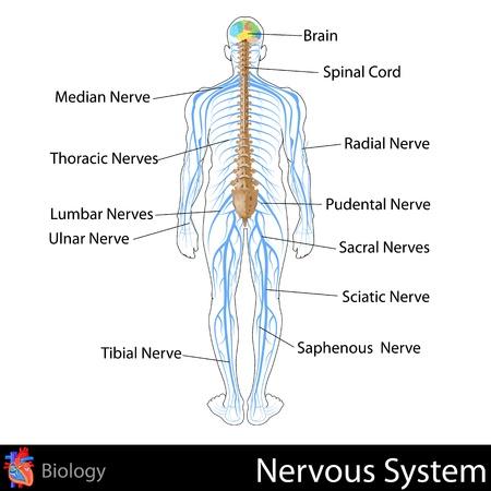 Sistema Nervioso Ilustración de vector