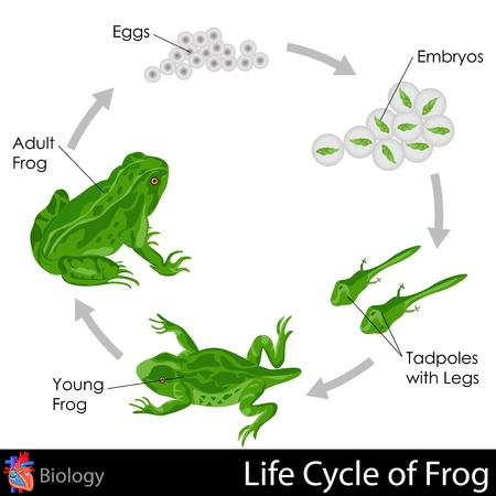 reproduce: Lifecycle of Frog Illustration