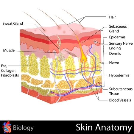 piel: Anatom�a de la piel Vectores