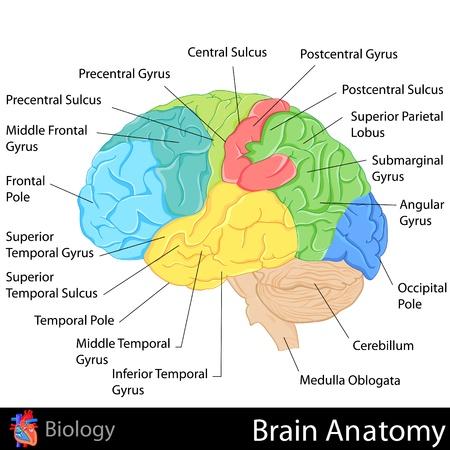 정면: 뇌의 해부학 일러스트