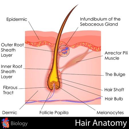 毛の解剖学 写真素材