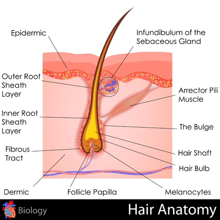 cell layers: Hair Anatomy Stock Photo