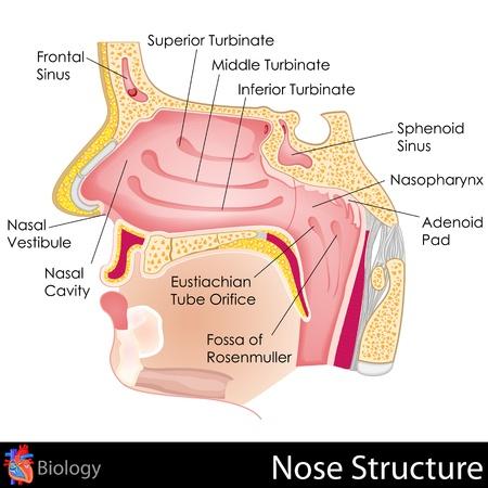 orifice: Human Nose
