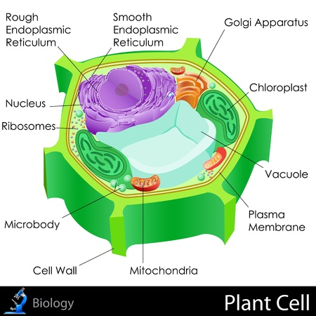 plant cell: Plant Cell