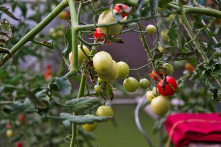 Unripe tomatoes hanging in green house Archivio Fotografico - 132082527