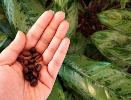 Coffee beans in hand on green leafy background Imagens