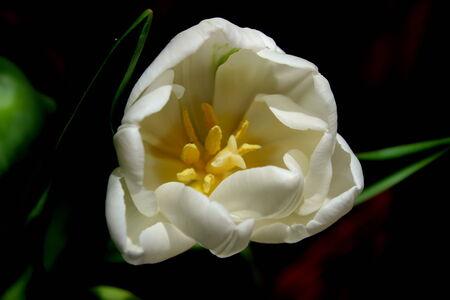 cor: Tulip