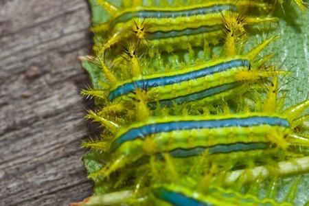 Caterpillars eat leaves. photo
