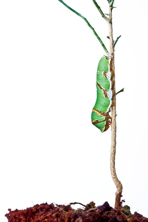 Caterpillar eat leaves. photo