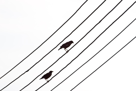 brid silhouette and white background. photo