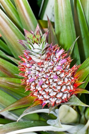 pineapple, tropical fruit of Thailand photo