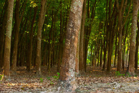 caoutchouc: panoramic view of nice rubber trees summer plantation
