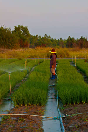 vegetable gardeners  onion  are watering by sprinkle in sunset