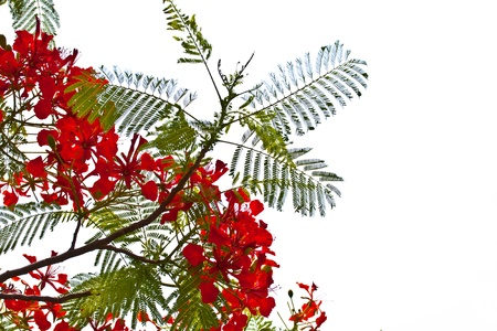 feathery: Peacock flowers on poinciana tree  Isolated on white Stock Photo