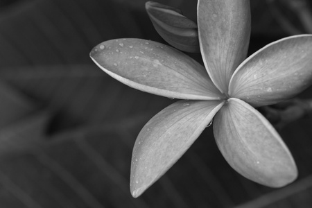 black and white tropical flowers frangipani (plumeria) Stock Photo