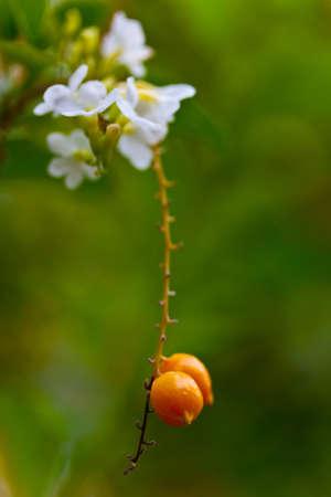 jessamine: Concentrarsi sui fiori bianco panna presenti su una Jessamine Arancione Archivio Fotografico